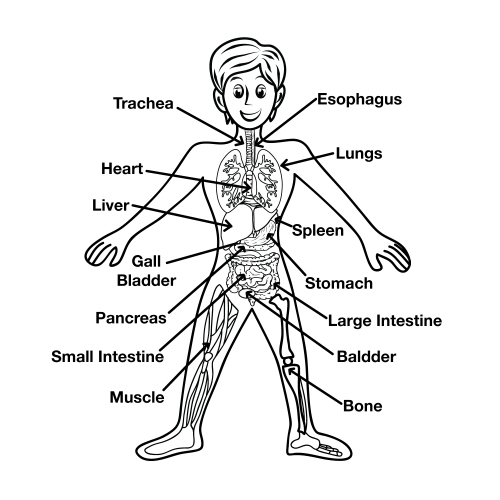 of-Human-Body-Diagram-for-Kids